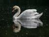 markus_hofstaetter_www_mhaustria_com_swans_L3A9332