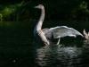 markus_hofstaetter_www_mhaustria_com_swans_L3A9957
