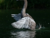 markus_hofstaetter_www_mhaustria_com_swans_L3A9961