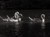 markus_hofstaetter_www_mhaustria_com_swans_L3A9980-Bearbeitet