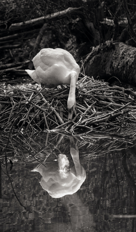 Z_digital_Canon_EOS_Swan_Expired_readyload_large_format_project_markus_hofstaetter_mhaustria.com5_