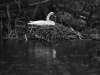 Swan_Expired_readyload_large_format_project_markus_hofstaetter_mhaustria.com_raindrops_are_falling_on_my_head_Kodak_TMAX100_Readyload