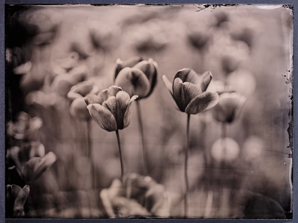 Nassplatte - wet plate - yellow red tulips - gelbrote tulpen